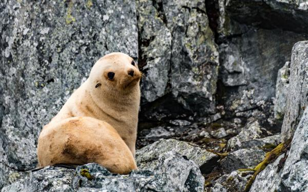 Young seal on rock