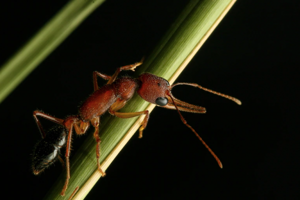 indian jumping ant